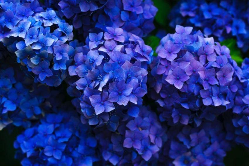 kuvituskuva siniset kukat